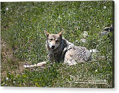 Mexican Wolf I Acrylic Print