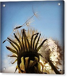 #mgmarts #dandelion Acrylic Print by Marianna Mills