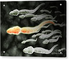 Microscopic View Of Sperm Traveling Acrylic Print by Stocktrek Images