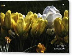 Midnight Tulips Acrylic Print by Timothy J Berndt