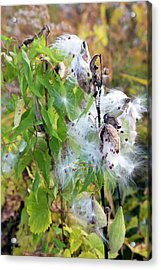 Milkweed Seed Pods Acrylic Print by Jim West