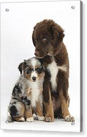Mini American Shepherd Pups Acrylic Print by Mark Taylor
