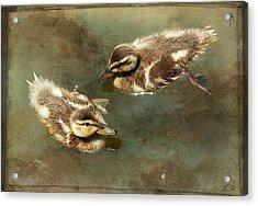 Mini Quackers Acrylic Print by Fraida Gutovich