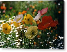 Mixed Color Poppies Acrylic Print by Robert Lozen