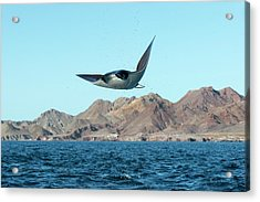 Mobuyla Ray Leaping Acrylic Print by Christopher Swann
