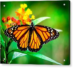 Monarch Butterfly Acrylic Print by Mark Andrew Thomas