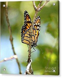 Monarch Acrylic Print by Lori Tordsen