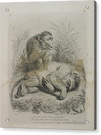 Monkeys Acrylic Print by British Library