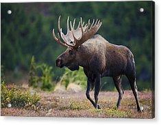 Moose Bull Walking On Autumn Tundra Acrylic Print by Milo Burcham