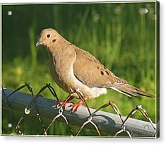 Morning Dove I Acrylic Print