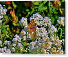 Moth On Pearly Everlasting Acrylic Print