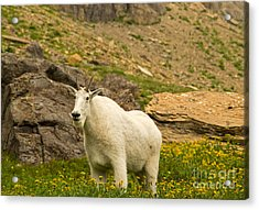 Mountain Goat In Glacier National Park Acrylic Print by Natural Focal Point Photography