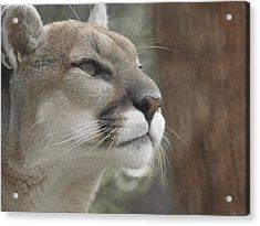 Mountain Lion Acrylic Print by Ernie Echols