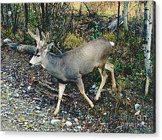 Mule Deer Acrylic Print by D Hackett