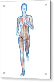 Muscular System Of A Runner Acrylic Print