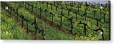 Mustard And Vine Crop In The Vineyard Acrylic Print by Panoramic Images