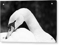 Mute Swan Black White Acrylic Print