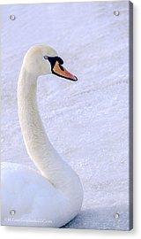 Mute Swan On Ice Acrylic Print