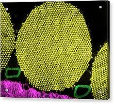 Myofibril Muscle Tissue Acrylic Print by Ammrf, University Of Sydney