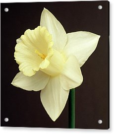 Narcissus Mount Hood Acrylic Print by Brian Gadsby/science Photo Library
