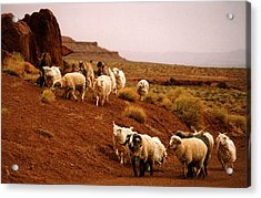 Navajo Sheep Acrylic Print by Robert Lozen