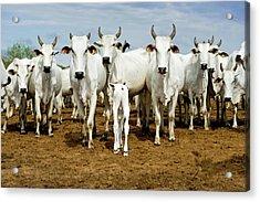 Nelore Cattle Acrylic Print by Tony Camacho/science Photo Library