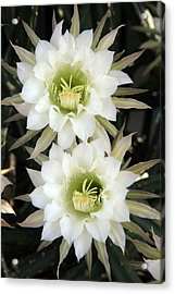 Night Blooming Cereus Acrylic Print