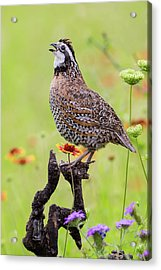 Northern Bobwhite, Colinus Virgianus Acrylic Print by Larry Ditto