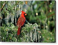 Northern Cardinal (cardinalis Cardinalis Acrylic Print