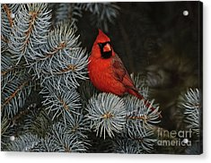 Northern Cardinal In Spruce Tree. Acrylic Print