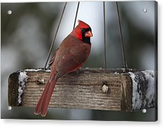 Northern Cardinal Acrylic Print by John Kunze
