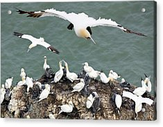 Northern Gannet Colony Acrylic Print by Steve Allen/science Photo Library