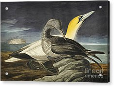 Northern Gannet Acrylic Print