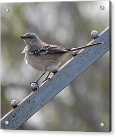 Acrylic Print featuring the photograph Northern Mockingbird 2 by Leticia Latocki
