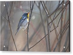 Northern Parula Acrylic Print by James Petersen
