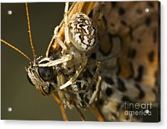 Oak Spider And Prey Acrylic Print by Paul Harcourt Davies
