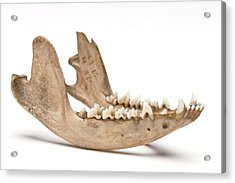 Opossum Jawbone Acrylic Print by Ucl, Grant Museum Of Zoology