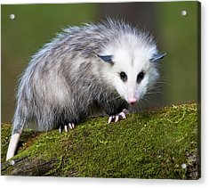 Opossum  Acrylic Print by Paul Cannon