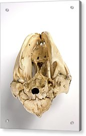 Opossum Skull Acrylic Print by Ucl, Grant Museum Of Zoology