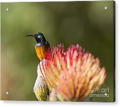 Orange-breasted Sunbird Acrylic Print