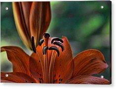 Orange Lilly  Acrylic Print by Saija  Lehtonen