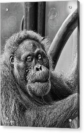 Orangutan Mama Acrylic Print