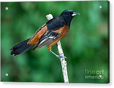 Orchard Oriole Icterus Spurius Adult Acrylic Print by Anthony Mercieca