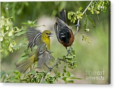 Orchard Orioles Acrylic Print