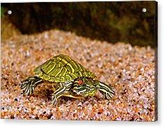 Ornate Red Ear Turtle, Chrysemys Acrylic Print by David Northcott