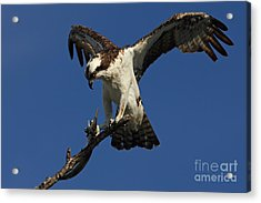 Acrylic Print featuring the photograph Osprey With A Fish Photo by Meg Rousher