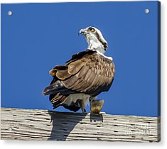 Acrylic Print featuring the photograph Osprey With Fish In Talons by Dale Powell