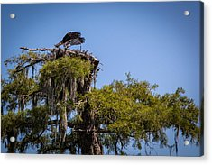 Osprey With Wings Forward Acrylic Print