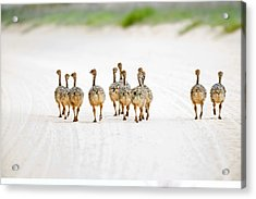 Ostrich Chicks Acrylic Print by Science Photo Library