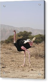 Ostrich In A Nature Reserve Acrylic Print